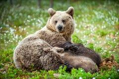 Filhotes de alimentação do leite materno do Ela-urso foto de stock