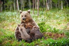 Filhotes de alimentação do leite materno do Ela-urso Urso de Brown, nome científico: Arctos do Ursus summertime imagens de stock