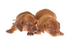 Filhotes de cachorro 010 do Dachshund Imagens de Stock Royalty Free