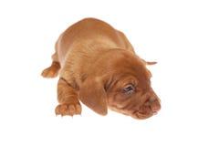 Filhotes de cachorro 013 do Dachshund Imagem de Stock