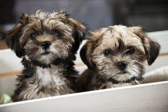 Filhotes de cachorro Foto de Stock