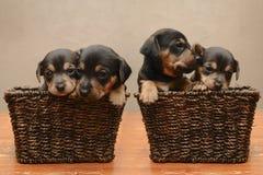 Filhotes de cachorro Imagem de Stock