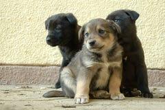 Filhotes de cachorro Fotografia de Stock Royalty Free
