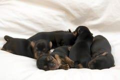 Filhotes de cachorro Foto de Stock Royalty Free