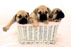 Filhotes de cachorro Fotos de Stock Royalty Free