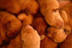 Filhotes de cachorro Imagens de Stock