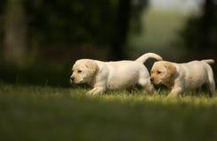 Filhotes de cachorro amarelos Foto de Stock Royalty Free