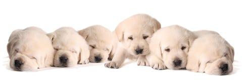 Filhotes de cachorro amarelos do laboratório Fotos de Stock Royalty Free