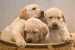 Filhotes de cachorro amarelos do laboratório Imagem de Stock