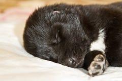 Filhotes de cachorro asiáticos centrais do pastor Imagem de Stock Royalty Free