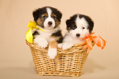 Filhotes de cachorro australianos do pastor na cesta Fotos de Stock Royalty Free