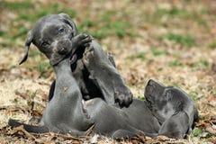 Filhotes de cachorro azuis de Weimaraner imagem de stock