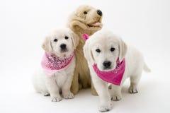 Filhotes de cachorro bonitos Foto de Stock