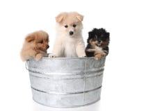 Filhotes de cachorro bonitos de Pomeranian em um Washtub do metal Imagem de Stock