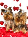 Filhotes de cachorro bonitos de Yorkie com pétalas cor-de-rosa e corações Foto de Stock Royalty Free
