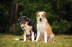 Filhotes de cachorro bonitos do collie de beira Fotos de Stock