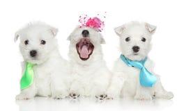 Filhotes de cachorro brancos do terrier das montanhas ocidentais Imagens de Stock