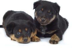 Filhotes de cachorro brincalhão Fotografia de Stock Royalty Free