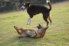 Filhotes de cachorro brincalhão Fotografia de Stock