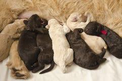 Filhotes de cachorro de Labradoodle com mamã Imagem de Stock Royalty Free