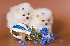 Filhotes de cachorro com um vaso Fotos de Stock