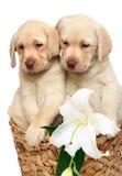 Filhotes de cachorro com uma flor. Foto de Stock Royalty Free