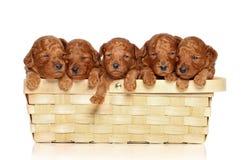 Filhotes de cachorro da caniche na cesta um fundo branco foto de stock