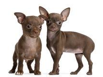 Filhotes de cachorro da chihuahua, 10 semanas velhos, posição Fotografia de Stock Royalty Free
