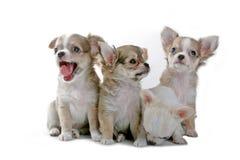 Filhotes de cachorro da chihuahua Fotografia de Stock Royalty Free