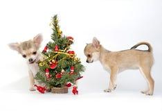 Filhotes de cachorro da chihuahua que decoram uma árvore de Natal Fotos de Stock Royalty Free