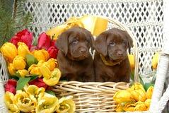 Filhotes de cachorro da mola Fotografia de Stock