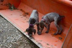 Filhotes de cachorro Dalmatian fotos de stock