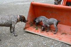Filhotes de cachorro Dalmatian fotografia de stock royalty free