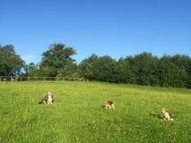 Filhotes de cachorro Dalmatian Fotos de Stock Royalty Free
