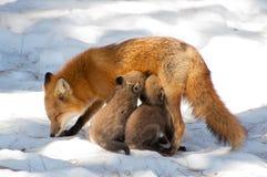 Filhotes de cachorro de alimentação da raposa da mãe Fotografia de Stock