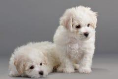 Filhotes de cachorro de Bichon Frise Fotografia de Stock Royalty Free