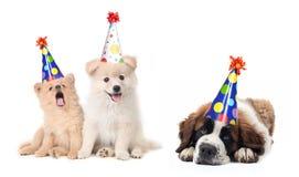 Filhotes de cachorro de comemoração parvos do aniversário Imagens de Stock