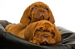 Filhotes de cachorro de Dogue De Bordéus Fotografia de Stock