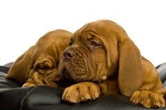 Filhotes de cachorro de Dogue De Bordéus Imagens de Stock