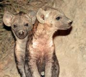 Filhotes de cachorro de Hiena Fotos de Stock Royalty Free
