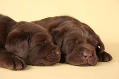 Filhotes de cachorro de Labrador Imagens de Stock Royalty Free