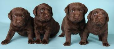Filhotes de cachorro de Labrador Fotografia de Stock Royalty Free