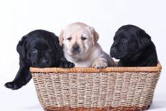 Filhotes de cachorro de Labrador Foto de Stock Royalty Free