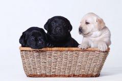 Filhotes de cachorro de Labrador Imagem de Stock Royalty Free