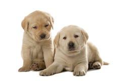 Filhotes de cachorro de labrador retriever imagem de stock