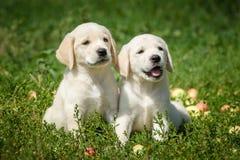 Filhotes de cachorro de labrador retriever Fotografia de Stock Royalty Free
