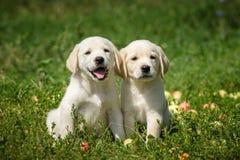 Filhotes de cachorro de labrador retriever Imagens de Stock