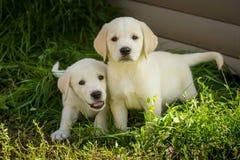 Filhotes de cachorro de labrador retriever Fotos de Stock