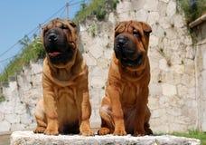 Filhotes de cachorro de Mahagony Sharpei Imagens de Stock Royalty Free