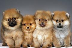 Filhotes de cachorro de Pomeranian fotos de stock